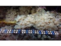 Marine aquarium pulsing xenia frag