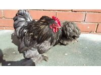 Trio of Pekin Bantams £15