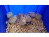 Pekin bantum chicks.