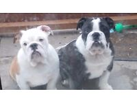 British bulldog bitch thorn and white kc registered blue genes