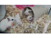 Young female gerbils