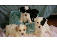 Yorkie/Bichon X Poodle