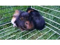 2 Female Guinea Pigs for sale!