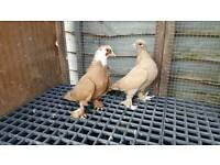 iraqi pigeon for sale