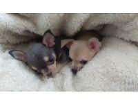 2 stunning kc chihauhua puppis left