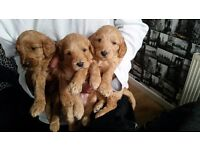 Gorgeous Labroodle Puppies with Australian Lineage £850