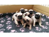 7 quality KC registered fawn pug puppies ready to leave 4/5/17