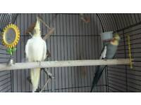 Cockatiels and Canary plus cage
