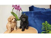 Toy Poodles puppys 2 boys