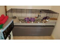 Pair of female guinea pigs and cage