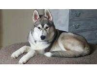 Siberian husky 10month old