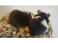 2 male baby Syrian hamsters for sale ready 8th of July