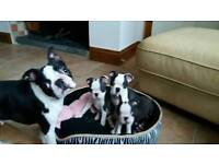 KC reg. Boston terrier pups for sale