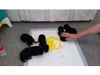 Yorkshire terrier pup's
