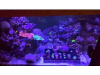 Marine coral frags