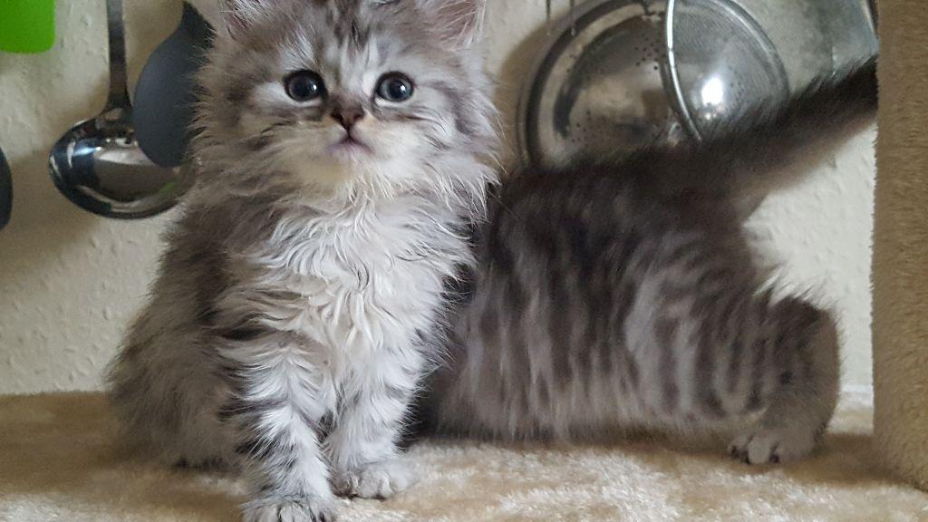 Short Haired Chinchilla Cat