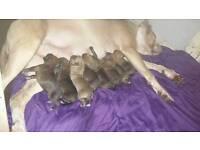 Mastiff x rottweiller puppies