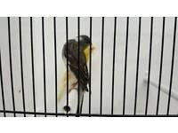 Scottish fancy Canary