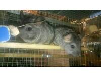 Baby gray chinchilla 3 months old