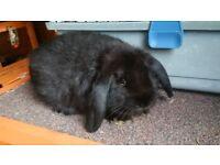 Cute black Dwarf-lop female rabbit for sale!!