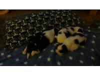 Pedigree Lhasa apso puppys