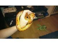 4ft male corn snake