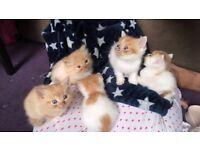 Mixed Persian Kittens