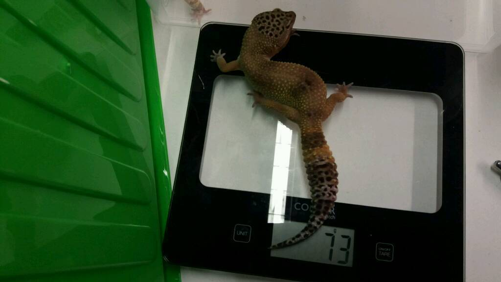 Female hypo leopard gecko for sale | in Melton Mowbray