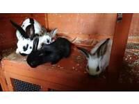 2 baby rabbits available soon