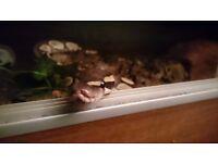 Mojave Royal python with rub stat and heat mat