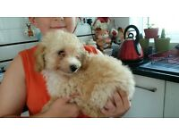 poodle +chihuahua X poodle puppies