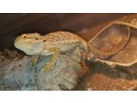 Bearded dragon 3 months old