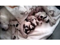 GORGEOUS STAFFORDAHIRE BULL TERRIER PUPS