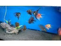 6 Angel fish