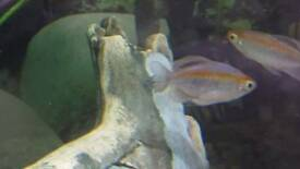 Tropical fish Firemouth, Congo tectra, featherfin catfish, large plec