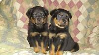 2 female rottweiler puppies for sale