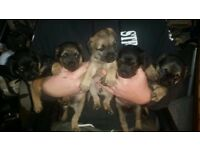 Border terrier puppies two dogs three bitches blue & tan one red grizzle