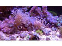 Marine aquarium coral frag leather toadstool