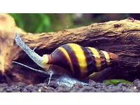 Assassin Snails for Sale - Control your pest snails