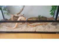 Motley Amel Corn Snake