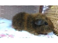 Rex male guinea pig ready now