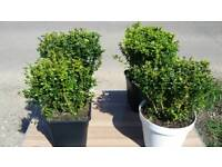 BUXUS BUSHES POTTED