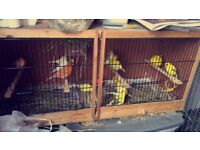 13 canaries for sale !!!!!