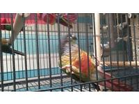 2 parakeet parrots for sale and large cage.