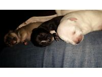 Puppy chihuahuas for sale!! £350-£450