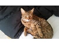very loving, playful, beautiful male tabby, all jabs done, has been chipped & neutered