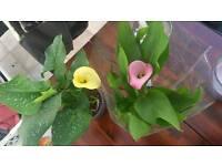 Calla lilies, zantadenisha plants yellow and pink