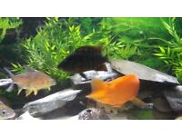 Various cichlid fish.tropical.oscar.red terror.parrot