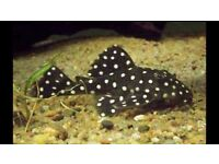 Snowball Plec approx 3-4 inch size £32 only !