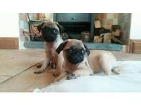Pug puppies for sale Kc Reg.